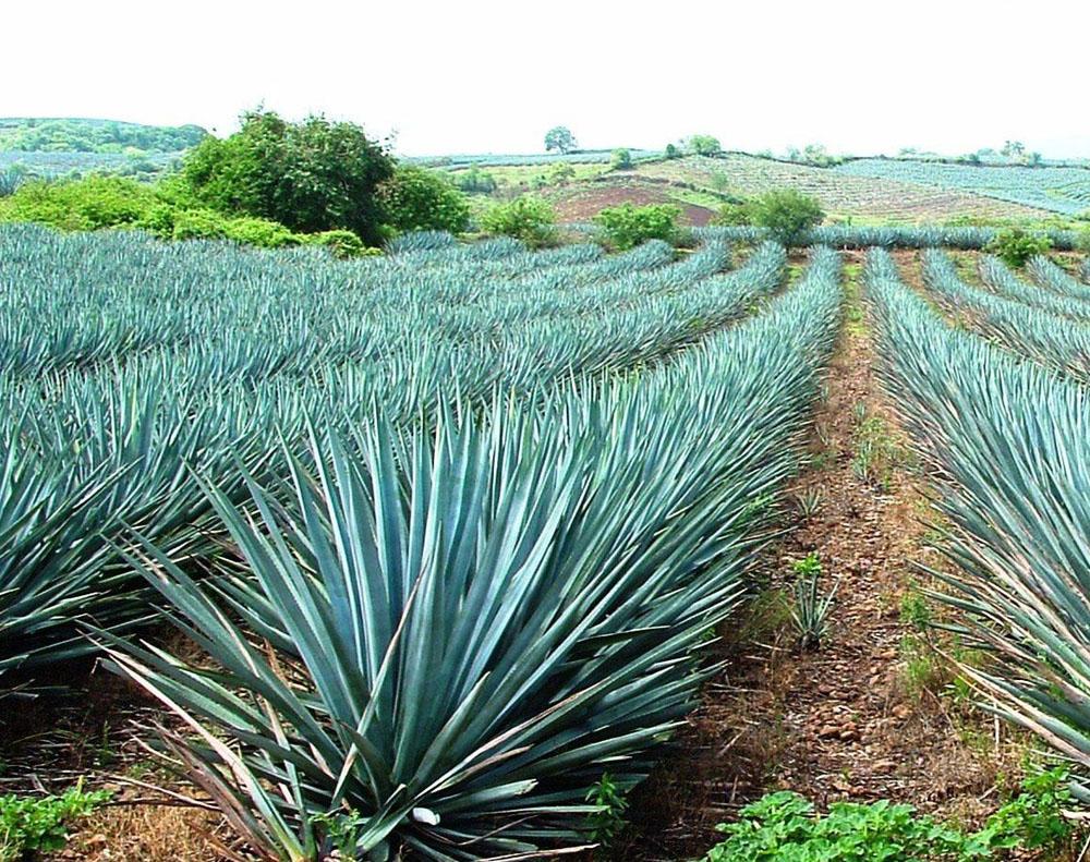 La Ruta Del Tequila, Jalisco