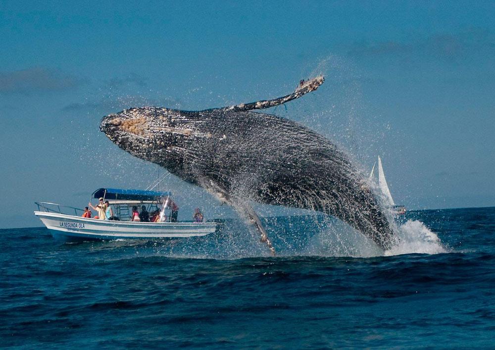 En Diciembre Llegan Las Ballenas Jorobadas A México