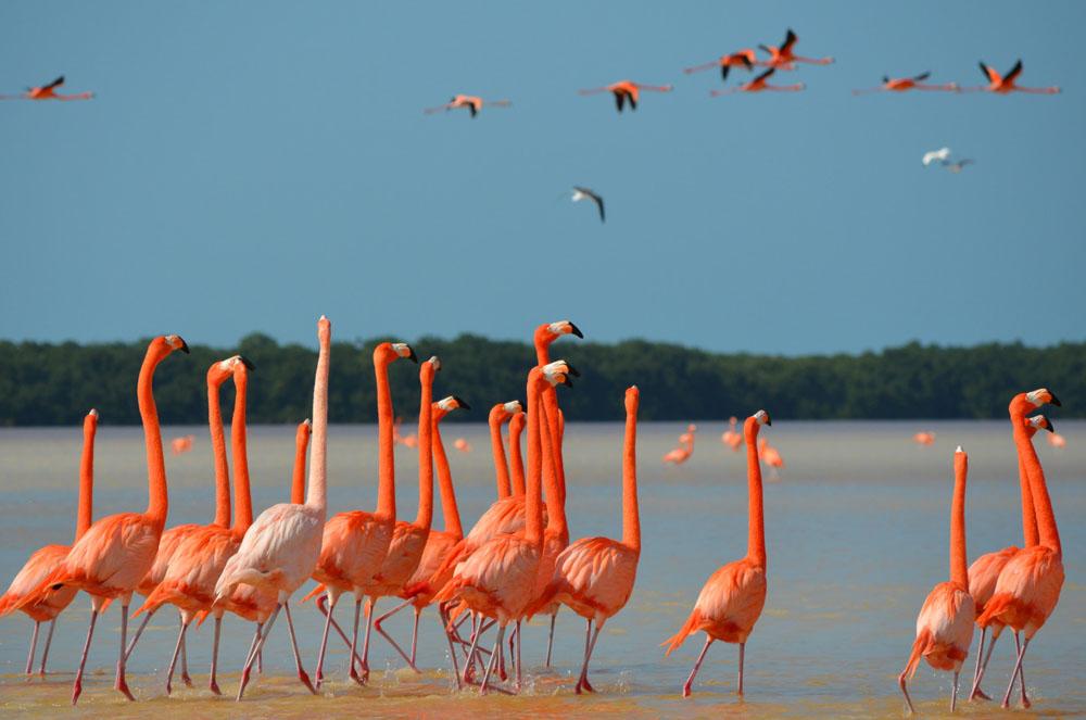 Temporada De Flamingos En Celestún