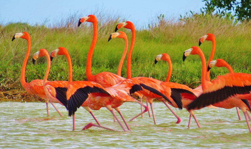 Temporada De Flamingos En Río Lagartos