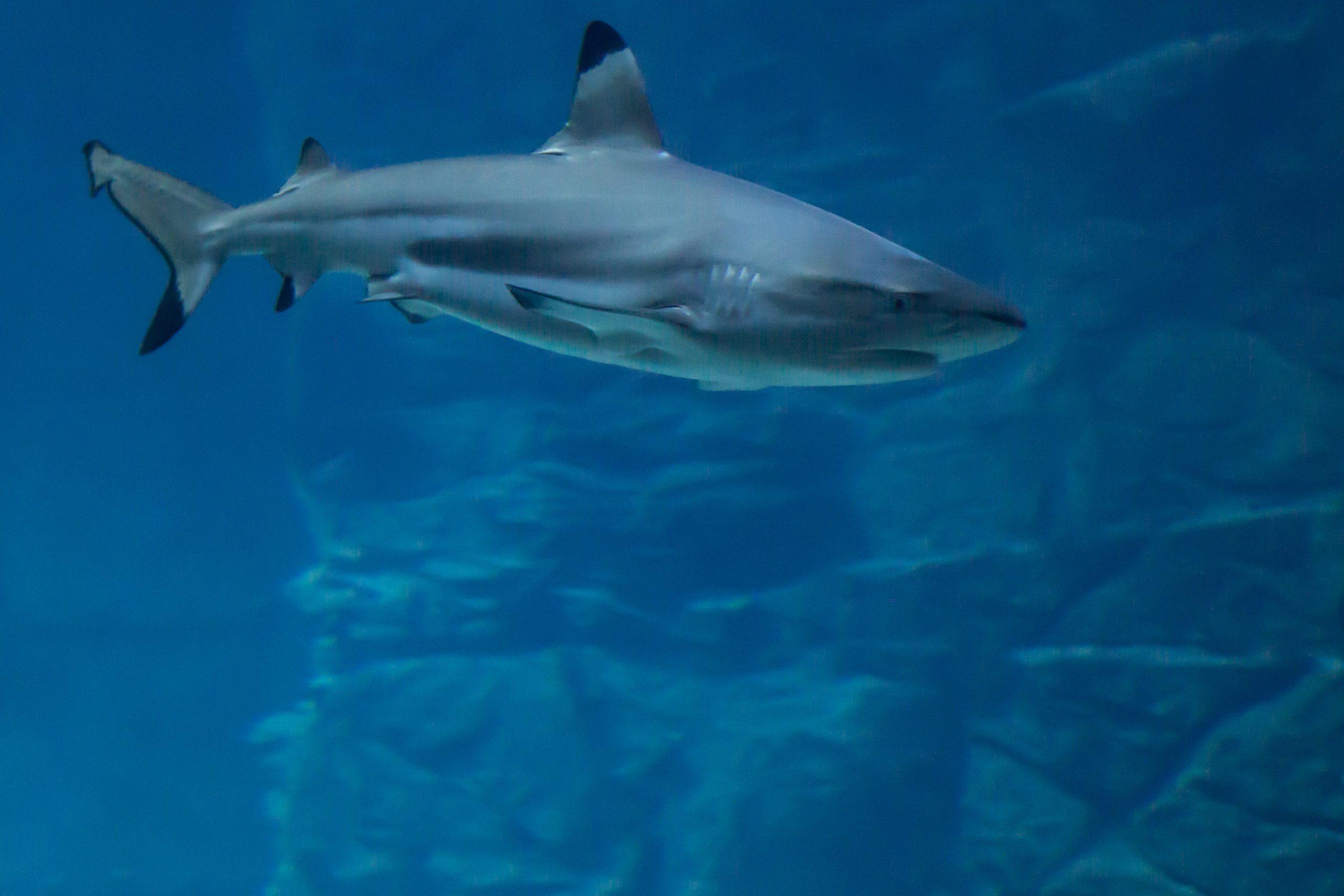 Coronavirus: Observan A Tiburón En El área Hotelera De Cancún